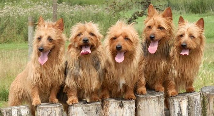 Dogs that don't shed a lot Australian Terrier Puppies