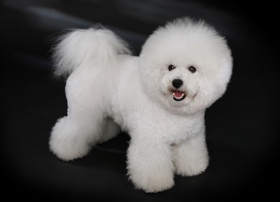 Dogs that don't shed a lot Bichon Frise